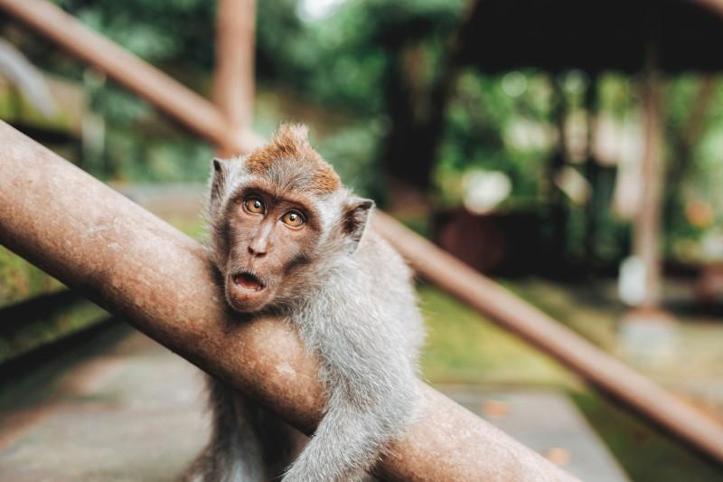 monkey hanging