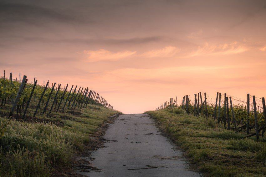 path through a vineyard