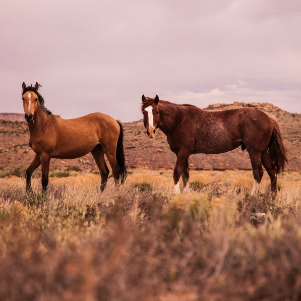 two wild horses in a desert scrub