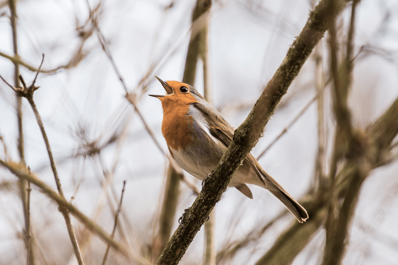 songbird singing on a branch
