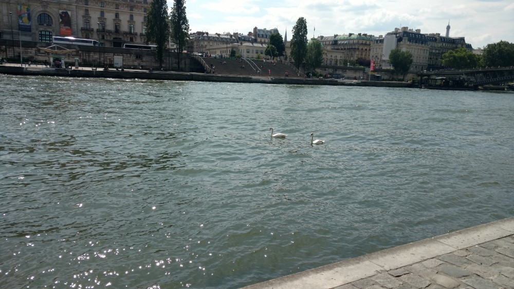 Two swans on the Seine in Paris (with riverbank and buildings)