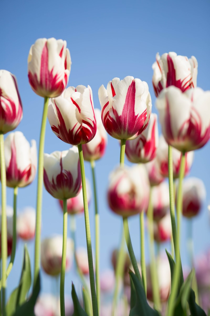 tulips - white and red flowers against a blue sky