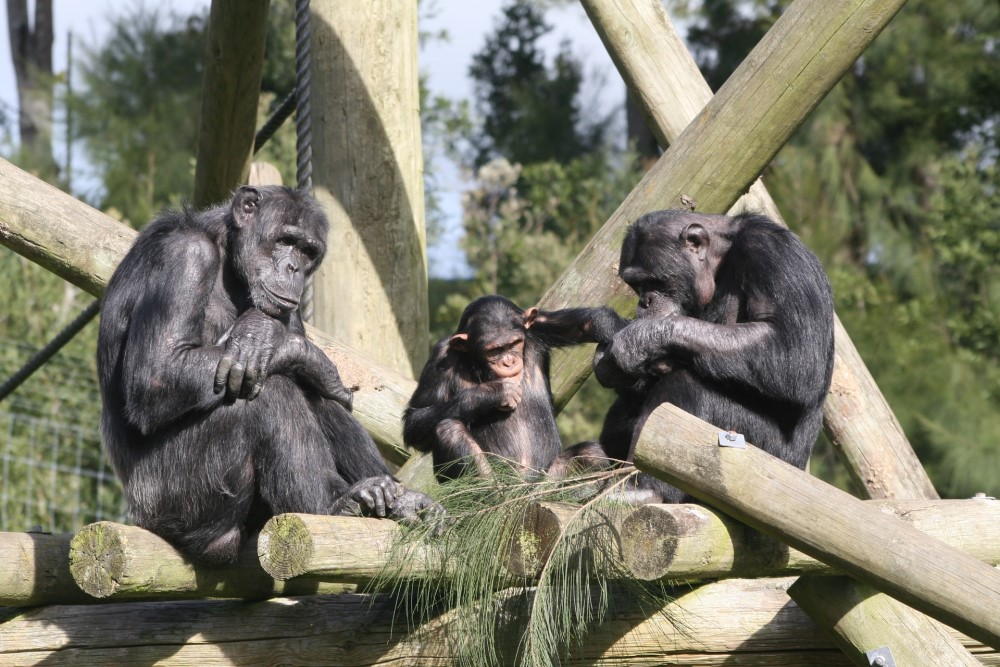 three nonhuman primates (apes or monkeys or...)