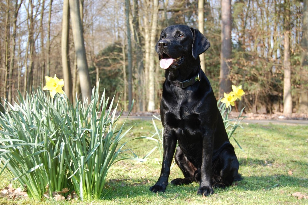 labrador retriever near forest path with daffodils