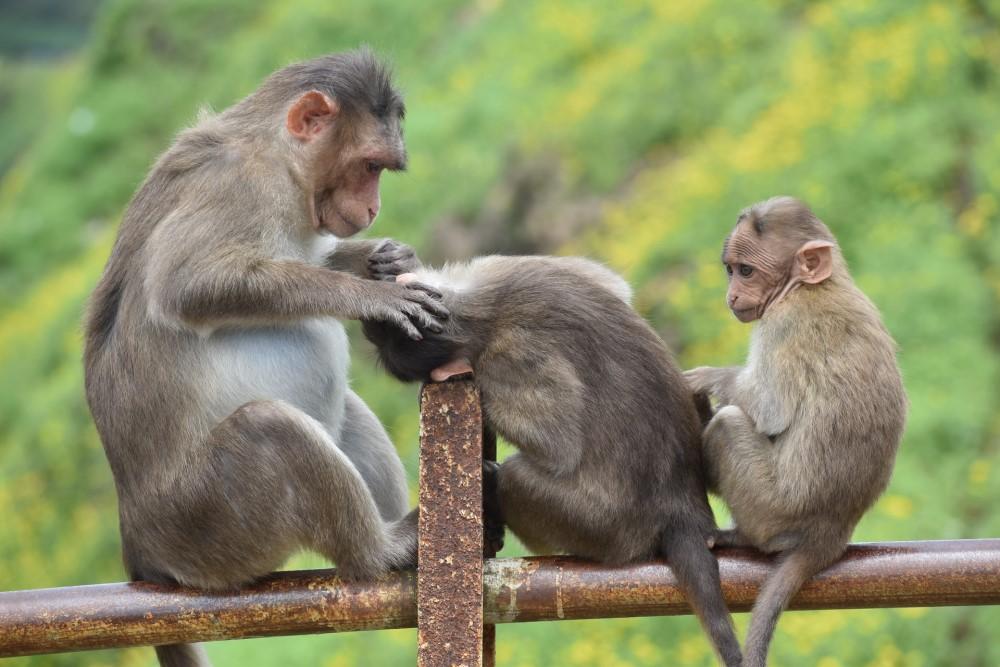 three monkeys in India