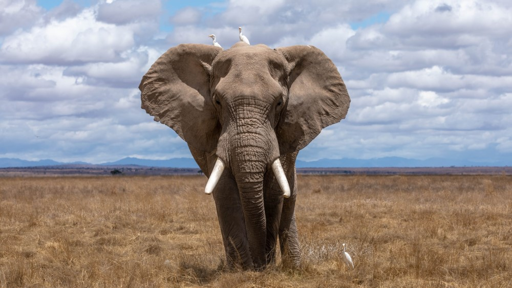 elephant with white birds on brown brush with blue sky with white puffy clouds and distant mountains