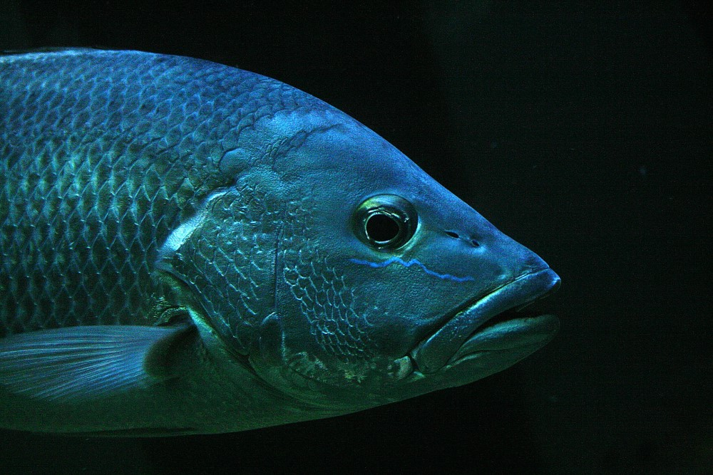 blue tilapia fish black background